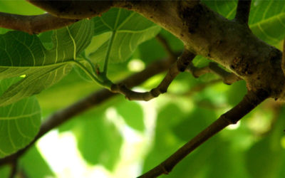 The Fig Tree Has No Figs