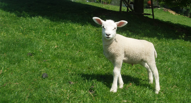 Stubborn Sheep